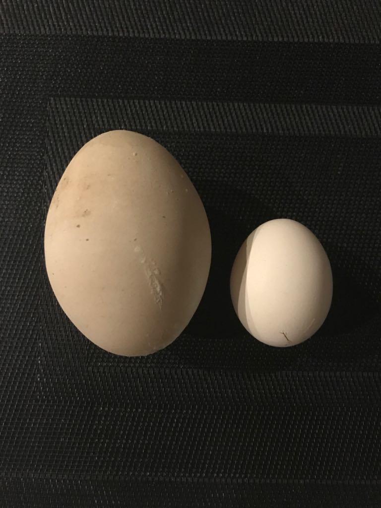 Największe kurze jajko wPolsce