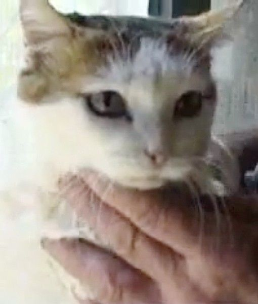 creme puff - najstarszy kot whistorii