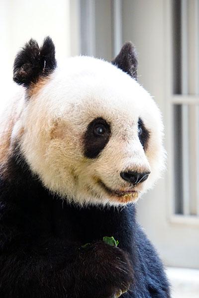 Najstarsza panda wniewoli - rekord Guinessa