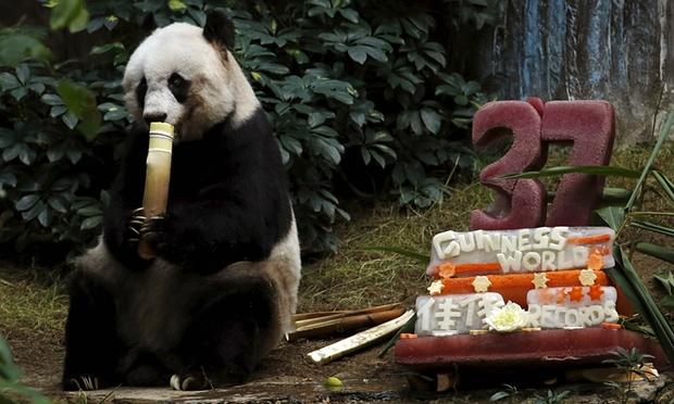Najstarsza panda w niewoli