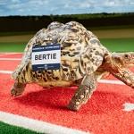 Najszybszy żółw świata