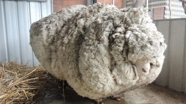 Najbardziej owłosiona owca - rekord