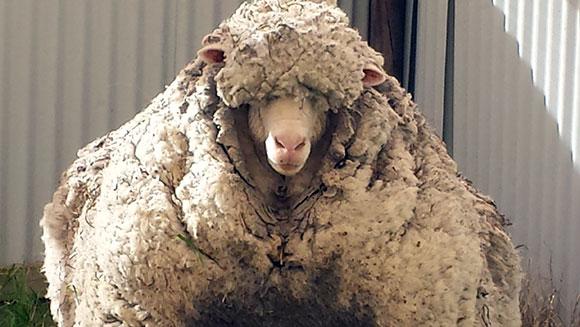 Najbardziej owłosiona owca