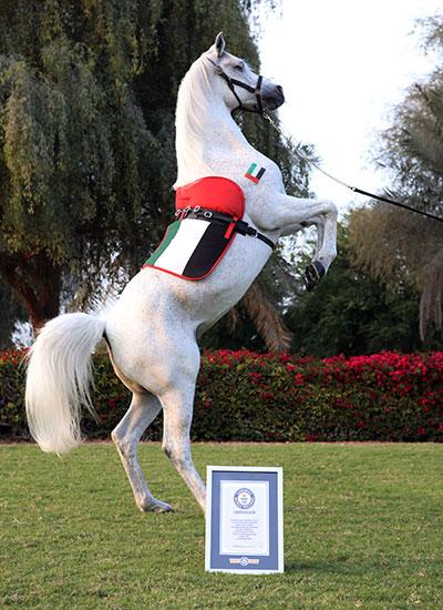 Koń chodzący nadwóch nogach - rekord Guinnessa