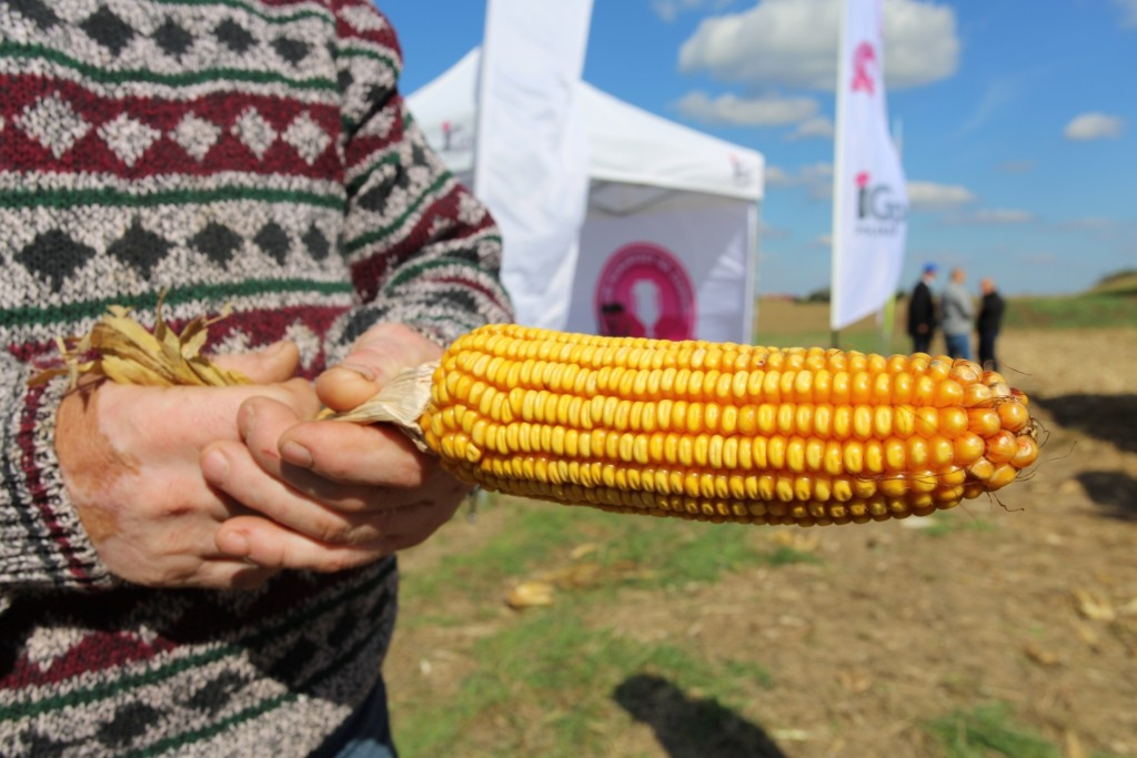 Plon kukurydzy