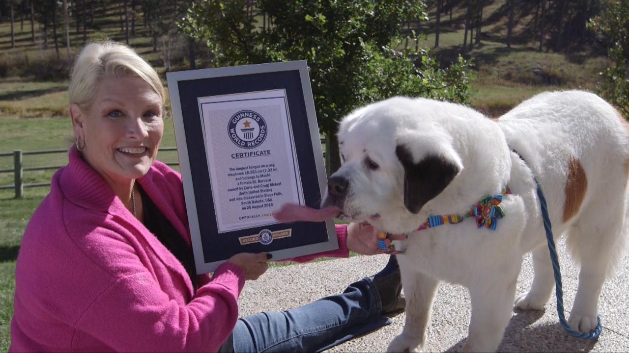 Rekord Guinnessa - najdłuższy język psa