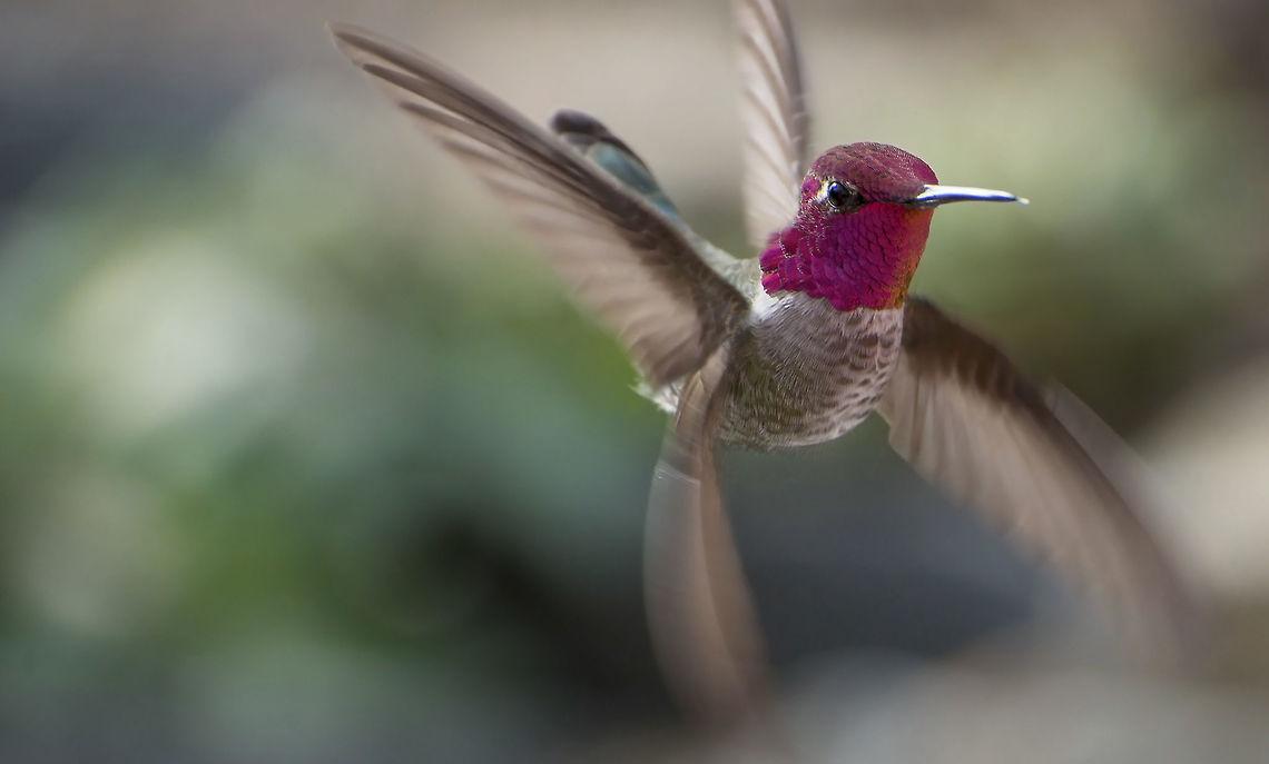 Najmniejszy ptak świata