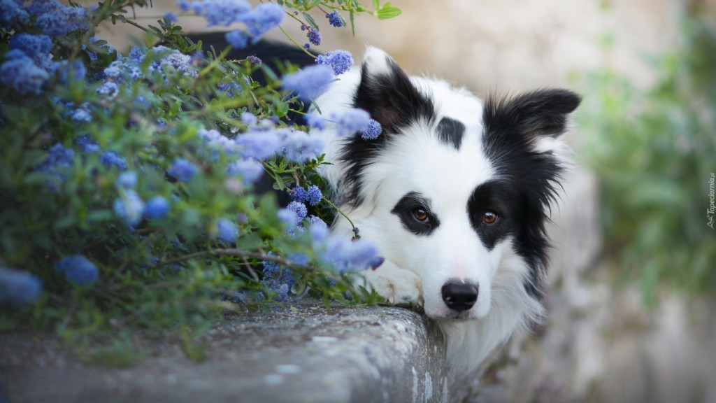 Poznajcie Border collie