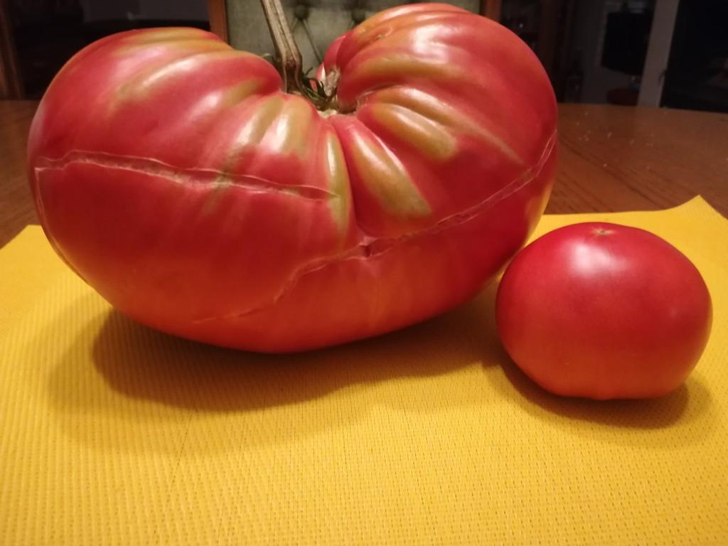 Rekordowy pomidor
