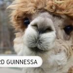 Guinness-alpaka