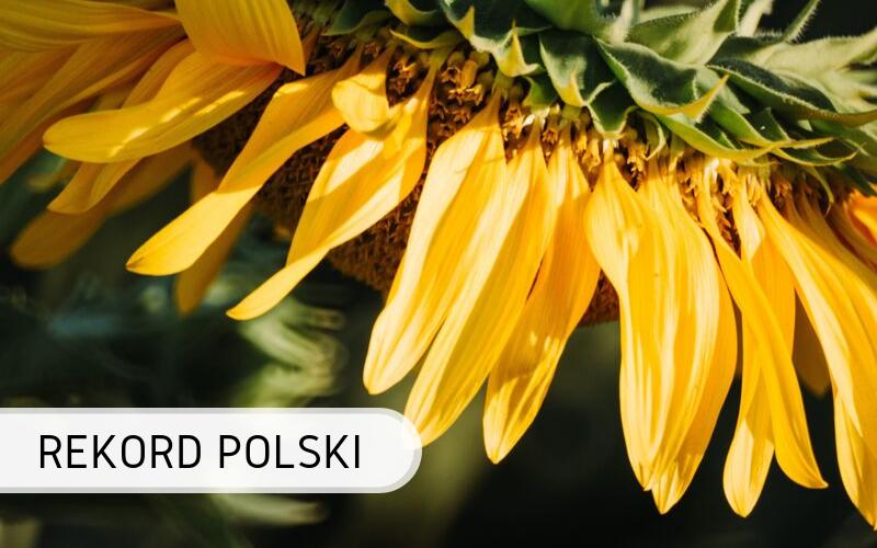 Polska - słonecznik