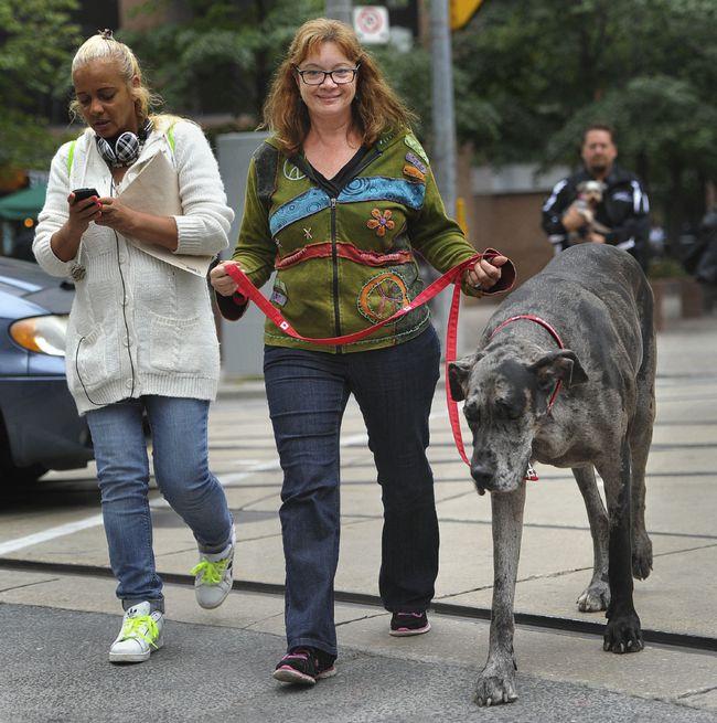 morgan - największy żyjący pies świata