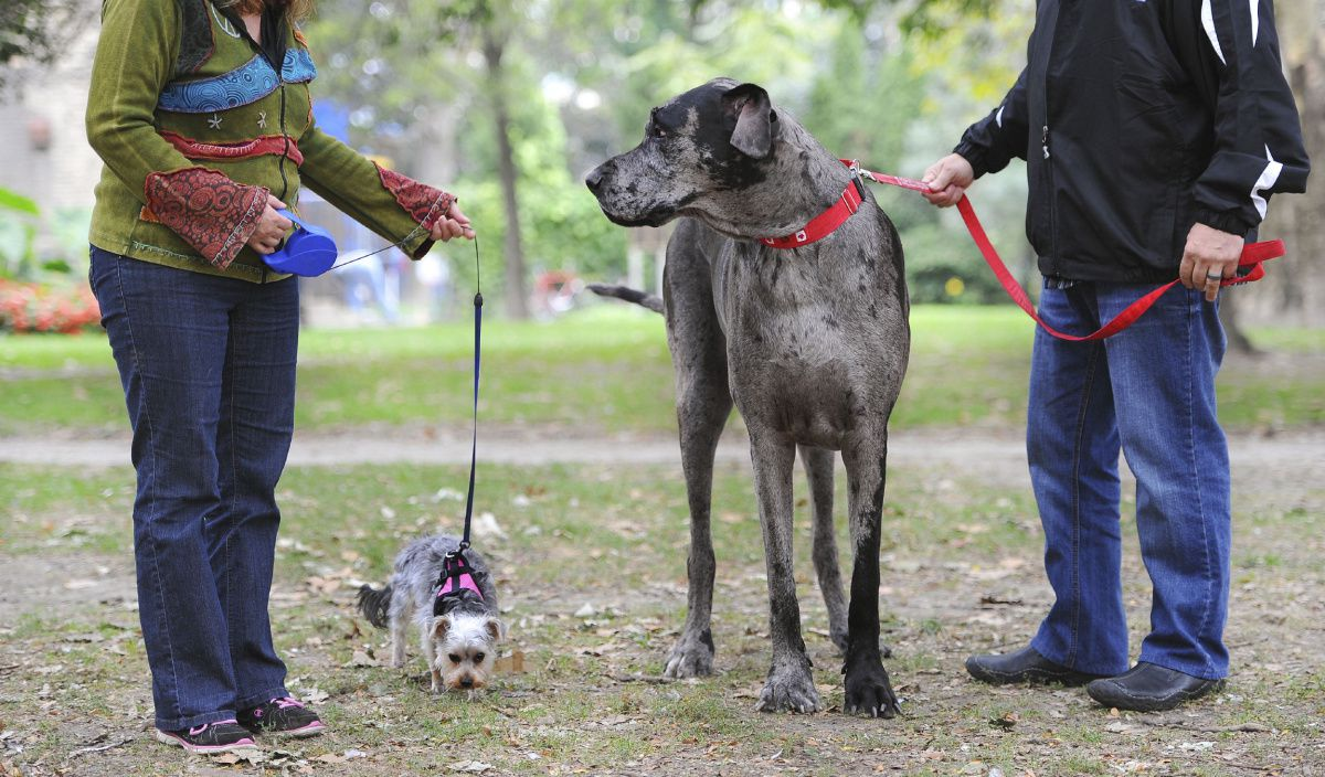 morgan - największy pies świata zyjący - suczka