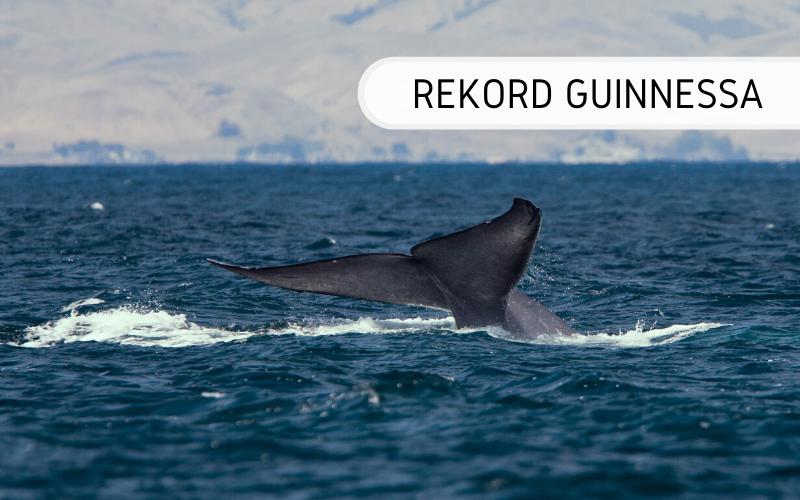 Największy ssak - Rekord Guinnessa