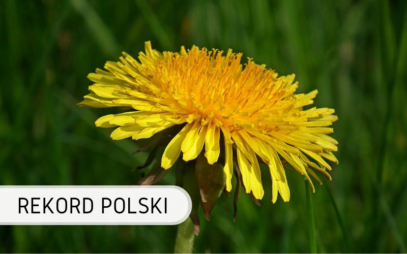 Rekord Polski - Największy mniszek lekarski