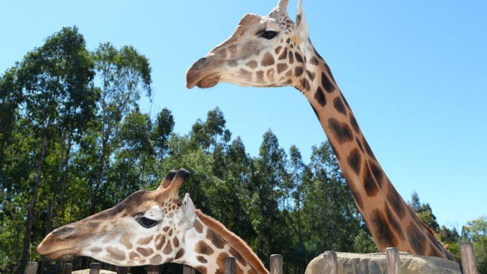 Żyrafa najwyższa - rekord