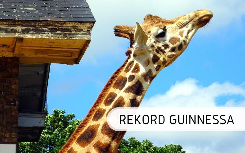 rekord Guinnessa - najwyższa żyrafa