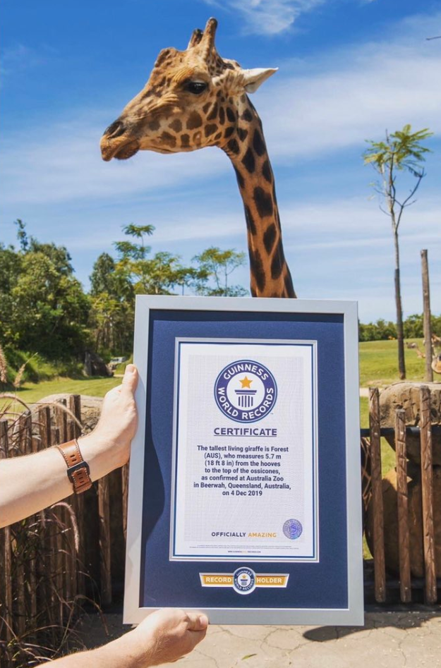 Rekord Guinnessa - wysokość żyrafy