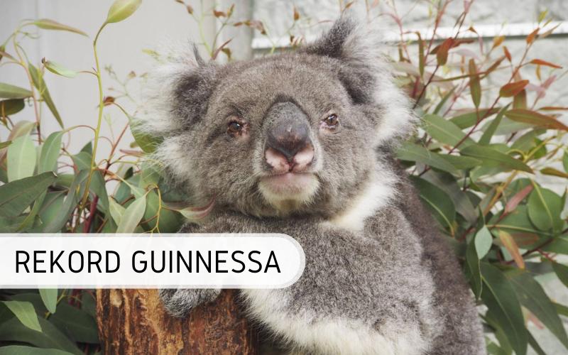 Rekord Guinnessa - najstarsza koala