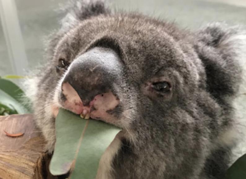 Rekordowa koala Midori