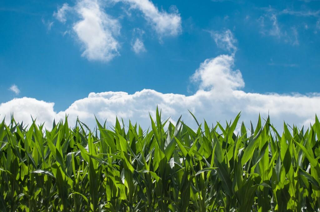 kukurydza-rekord
