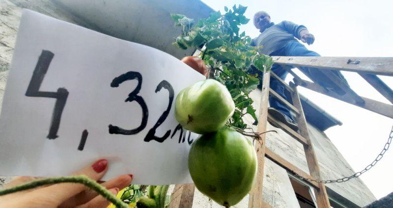 Rekord Polski najwyższe pomidory