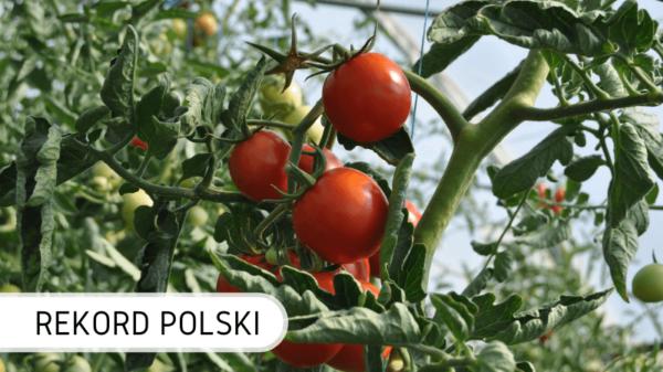 Rekord Polski najwyższy pomidor