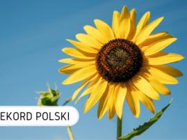 Rekord Polski słoneczniki